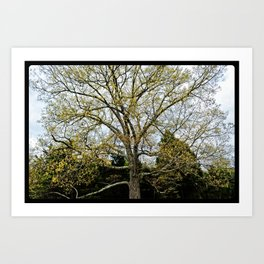 Great Oak at Winged Deer Park Art Print