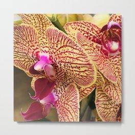 Meyer Lemon-ish Yellow Orchids With Scarlet Blood Veins Metal Print