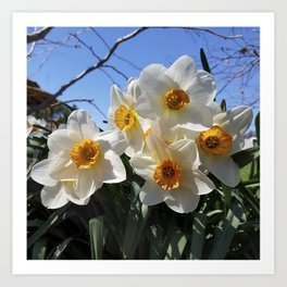 Sunny Faces of Spring - Gold and White Narcissus Flowers Art Print