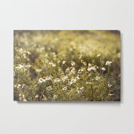 Daisy in a meadow lit by the rising sun Metal Print
