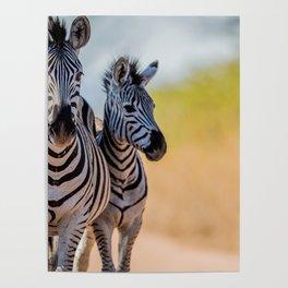 Bonding Zebras Poster