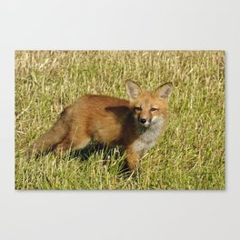 Curiousity - Red Fox kit Canvas Print