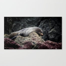 Seal at Cape Palliser, NZ Canvas Print