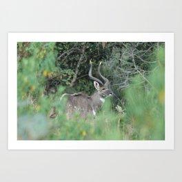 Female Mountain Nyala Antelope Bala Mountains Ethiopia Art Print