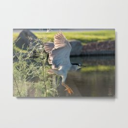 Black-Crowned Night Heron 3 Metal Print
