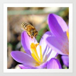 Bee flying on Crocus square format Art Print