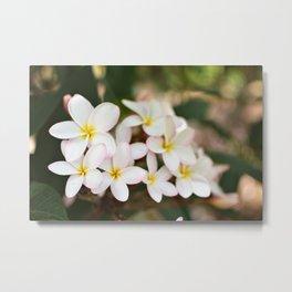White Plumeria Cluster Metal Print