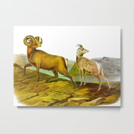 Rocky Mountain Sheep Vintage Scientific Drawing Metal Print