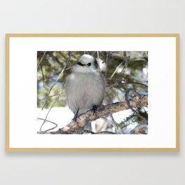 Gray Jay in Rocky Mountain Framed Art Print