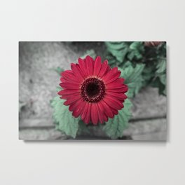 A Full Frontal Closeup of a Red Daisy Metal Print