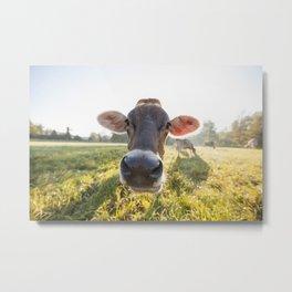 Brown Swiss Cow Metal Print