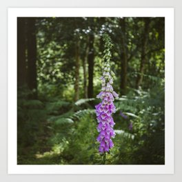 Flower. Purple Foxglove (digitalis purpurea) growing wild in woodland. Art Print