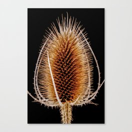 Natural Teasel Canvas Print