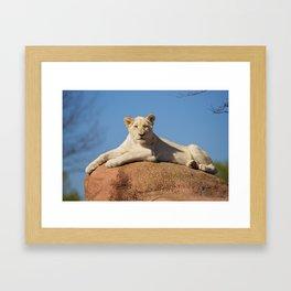 White Lioness Cub Framed Art Print