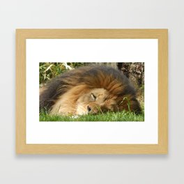 Sleeping Lion Framed Art Print