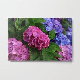 Abundant Rose Blue Lilac Pink Hydrangea Hortensia Flower Metal Print