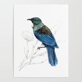 Tui, New Zealand native bird Poster