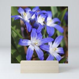Early Spring Blue - Chionodoxa Mini Art Print