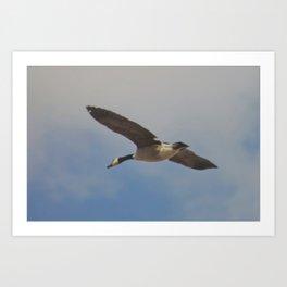 Canadian Goose Flight Art Print