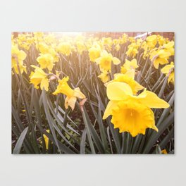 yellow daffodils flowers Canvas Print