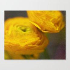 Soft Ranunculus Canvas Print