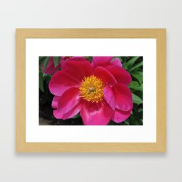 """Introducing the Peony """"Miss Scarlet"""" Framed Art Print"""