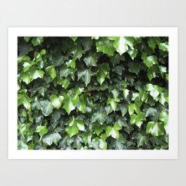 Evergreen Ivy Art Print