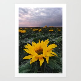 Sunflower Field Art Prints For Any Decor Style Society6