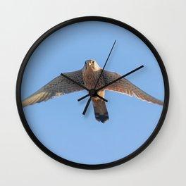 Common Kestrel (Falco tinnunculus). Common Kestrel in flight Wall Clock