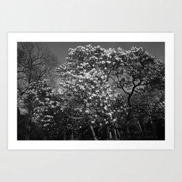 Magnolia Tree in Blossom (BW) Art Print
