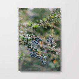 Spring Blueberries // California Metal Print
