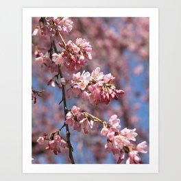 Pink Cherry Blossoms, Spring Flower Art Print