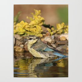 young bird bathes Poster