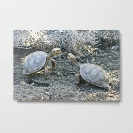 Baby giant tortoises acting tough Metal Print