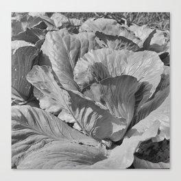 Noonday Farm Cabbage Canvas Print