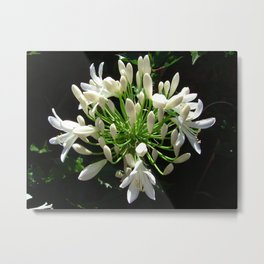 Close up view of a white Agapanthus in full bloom Metal Print