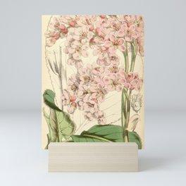 Flower 5967 saxifraga stracheyi1 Mini Art Print