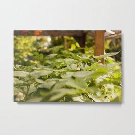 Potato Plants Photography PrintPotato Plants Photography Print Metal Print