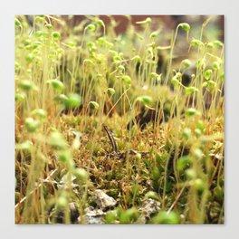 Moss Sporophytes Canvas Print