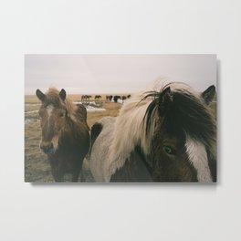 Iceland Pony Metal Print