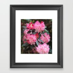 Dreamy Pink Rhododendrons Framed Art Print