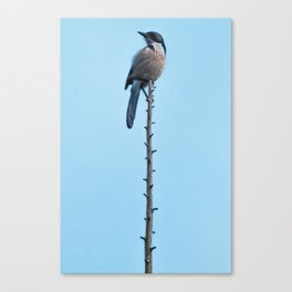 Bird - Scrub Jay Canvas Print