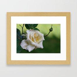 Beautiful Cretan Rose Framed Art Print