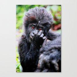 Young Mountain Gorilla, Uganda Canvas Print