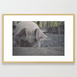 Pig in Oconaluftee Framed Art Print