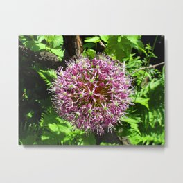 Allium Mars, purple flower Metal Print