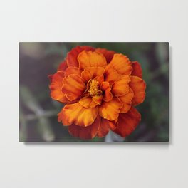 Macro of an Orange Marigold Metal Print