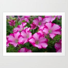 Pink striped petunias Art Print