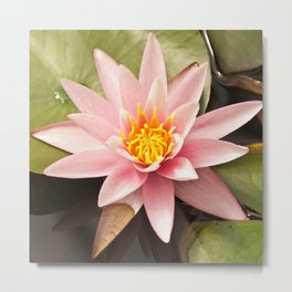 Pink Lily Bloom Metal Print