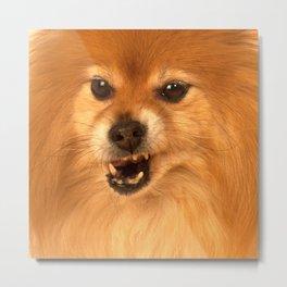 Angry Pomeranian dog Metal Print